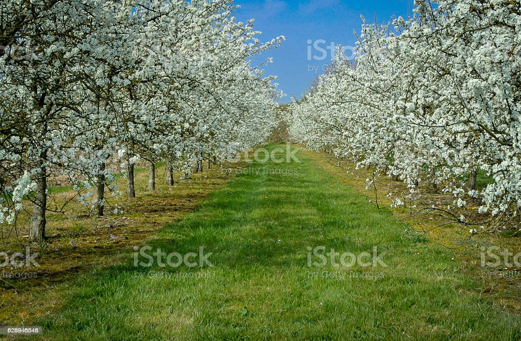 Plum Trees in Blossom stock photo