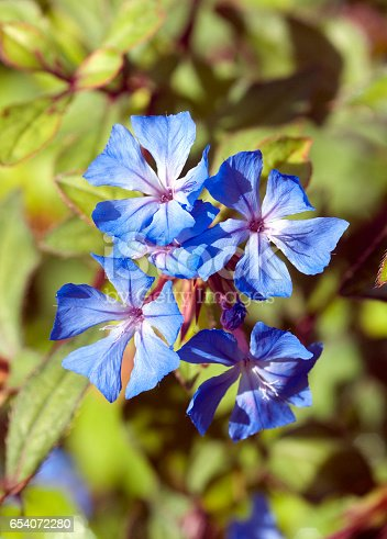 plumbago ground cover cerastostigma stock photo   istock, Natural flower