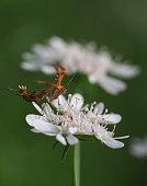 Plume moth on white flower