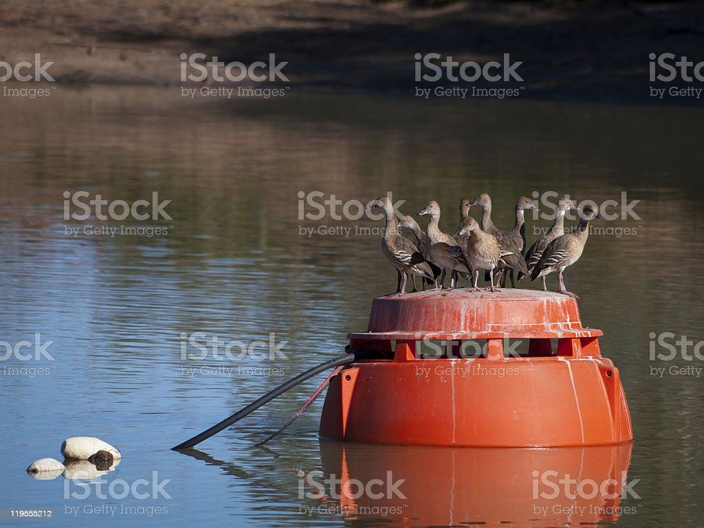Plumed Whistling Ducks stock photo