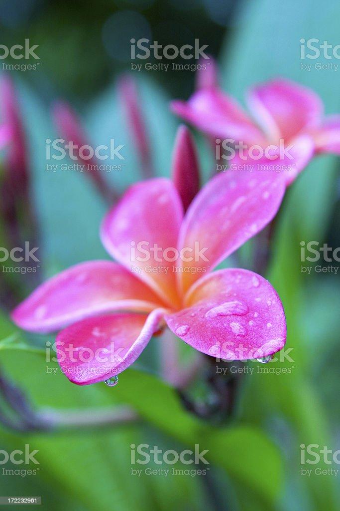 Plumeria close up,with raindrops royalty-free stock photo