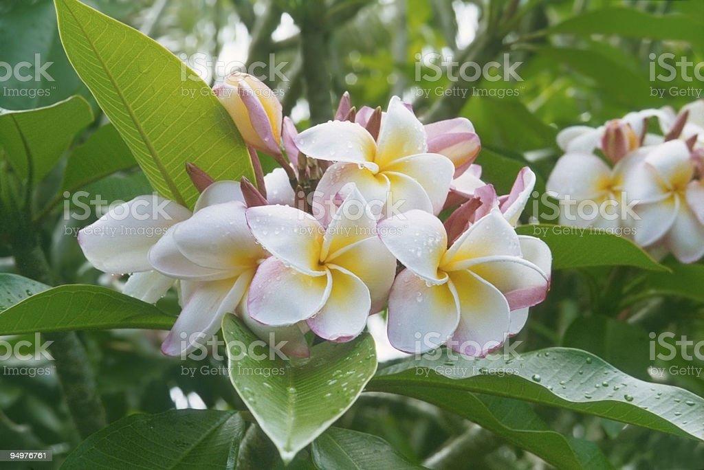 Plumeria Cluster royalty-free stock photo