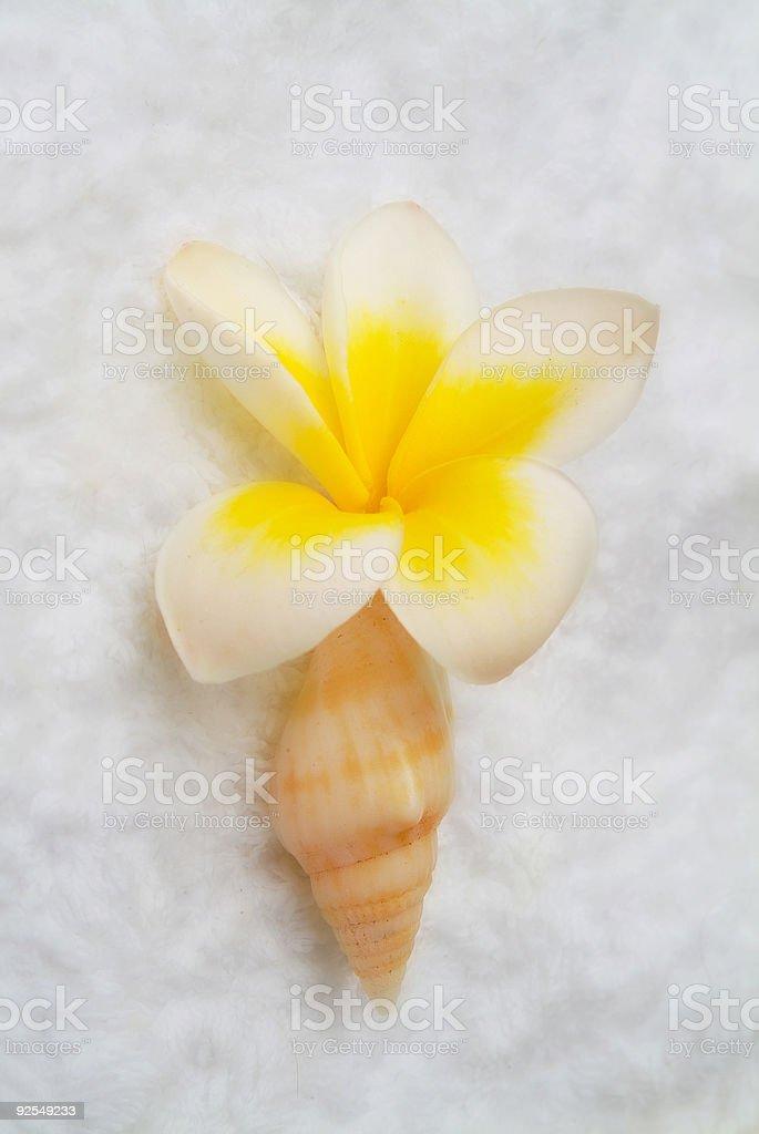 Plumeria cone stock photo
