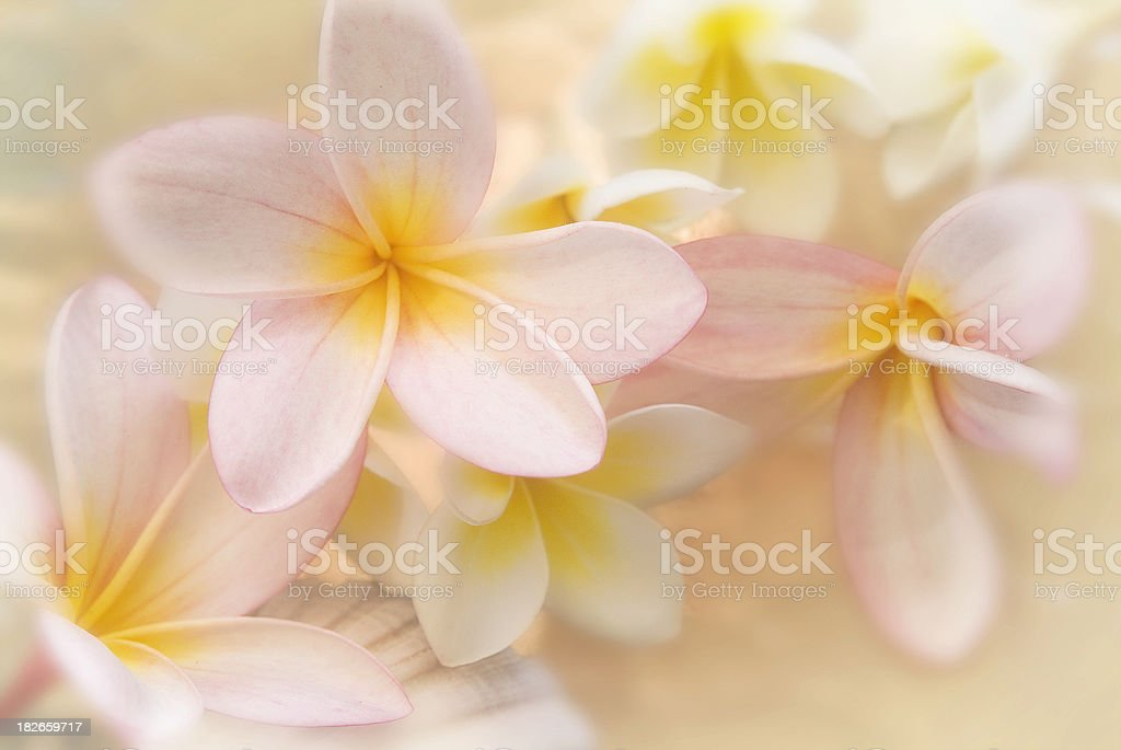 Plumeria fantasy stock photo