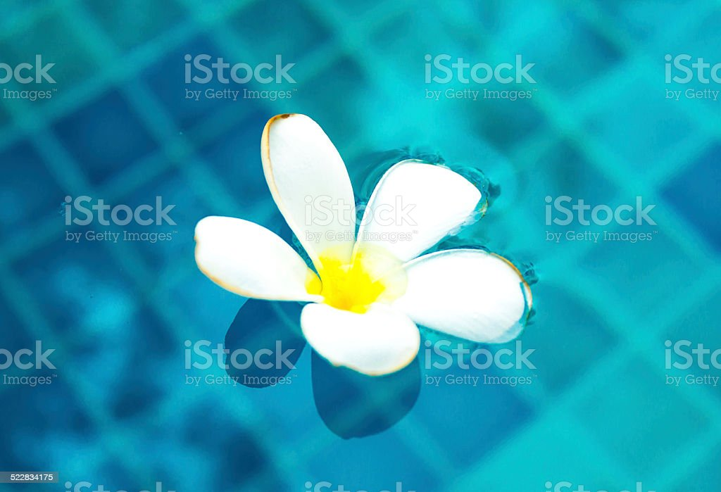Plumeria floating in blue water stock photo