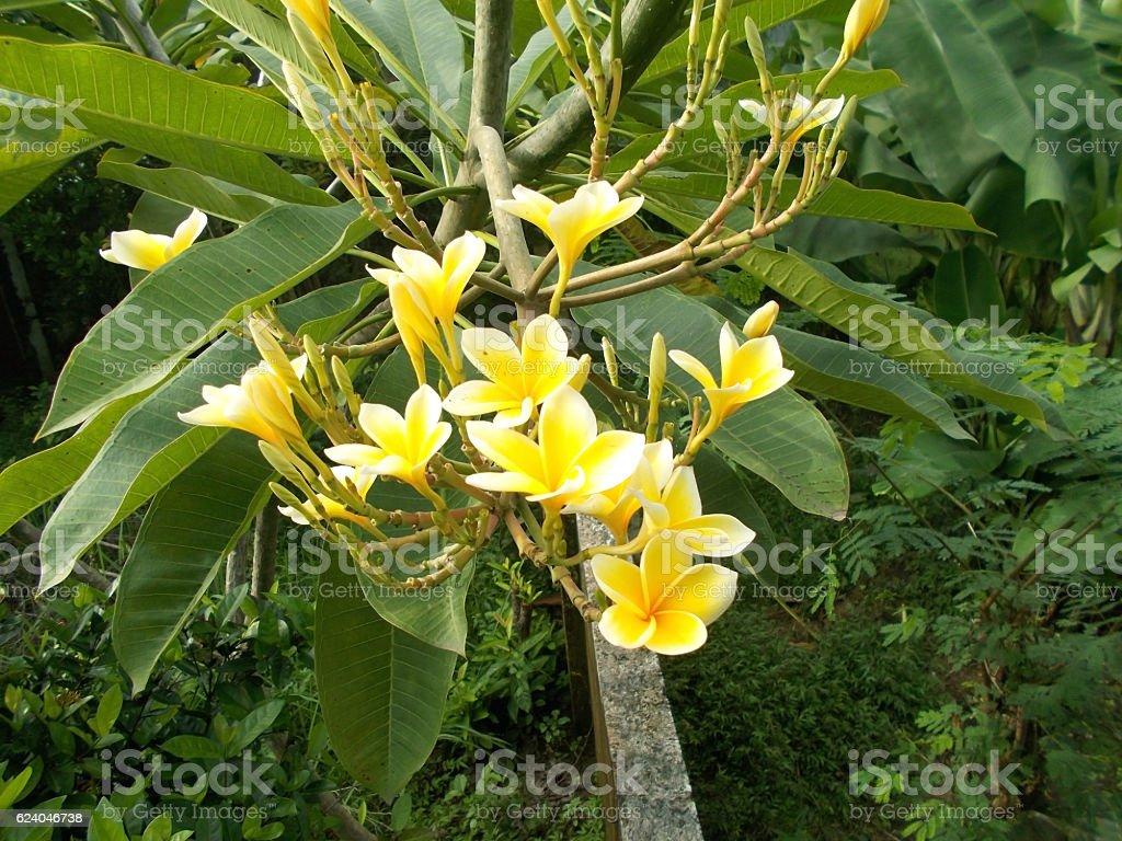 plumeria flower at the tree stock photo