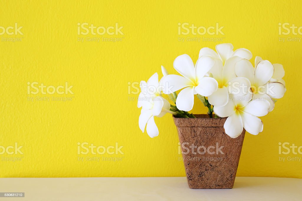 Plumeria flower blooming in coconut fiber potted stock photo