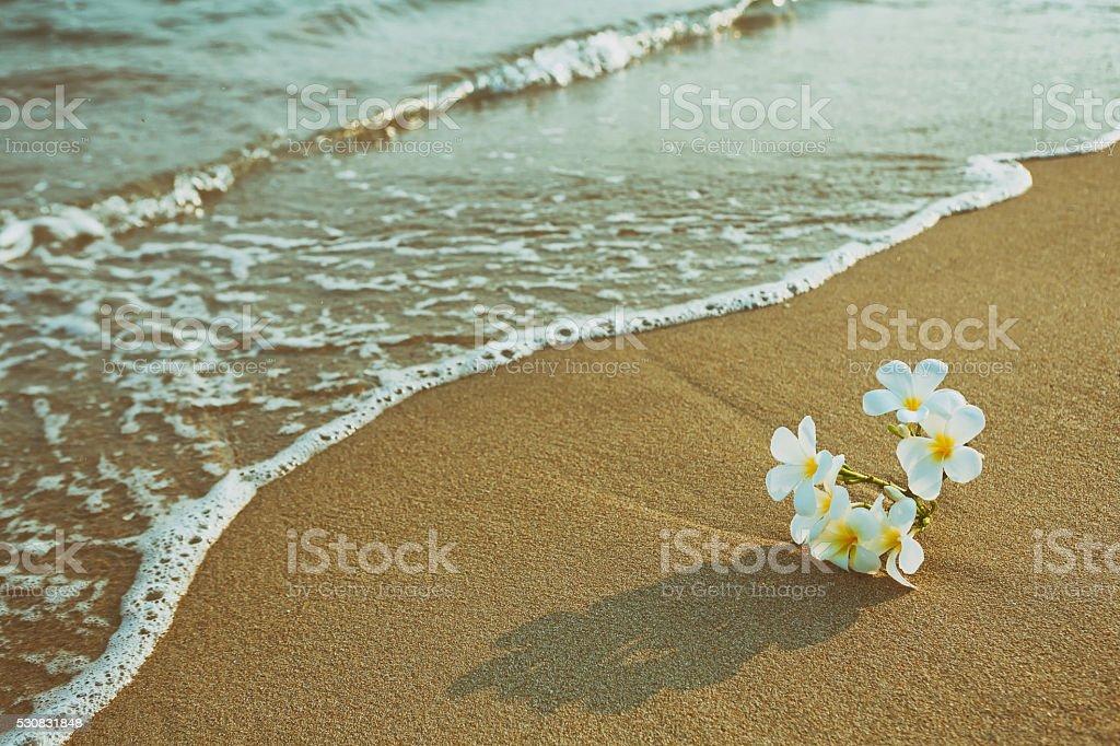 Plumeria flower blooming on the beach stock photo