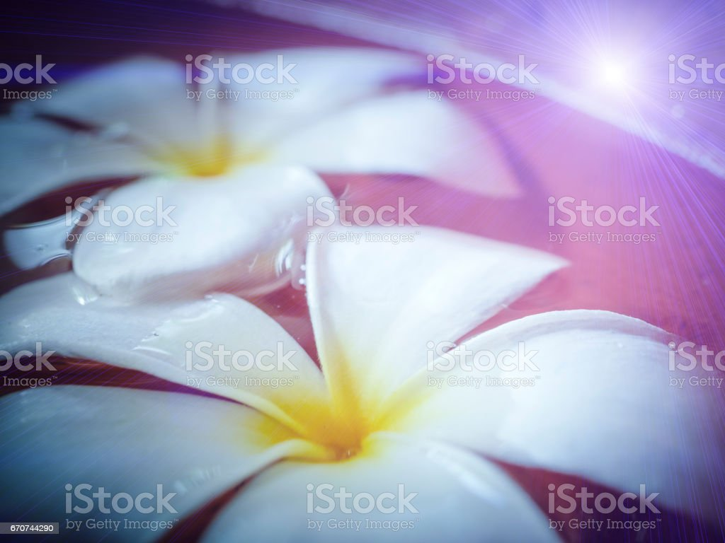 Plumeria flower on nature background with Soap Bubbles stock photo