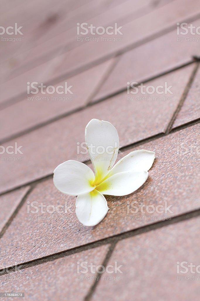 Plumeria flower royalty-free stock photo