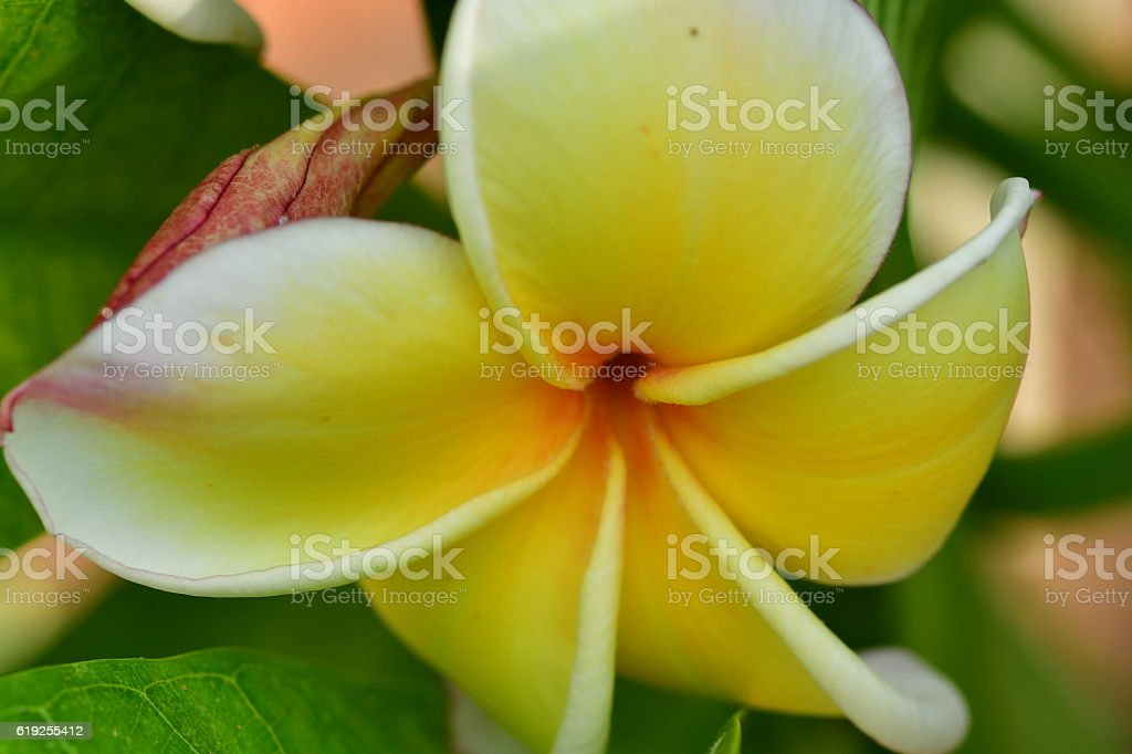 Plumeria Flower stock photo