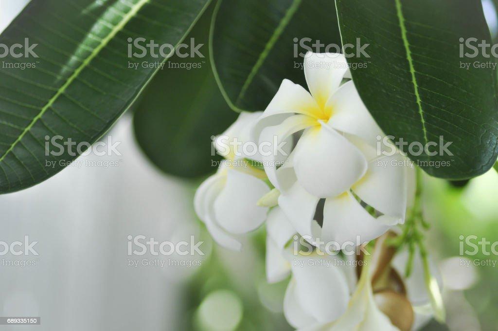 plumeria flower, temple tree stock photo