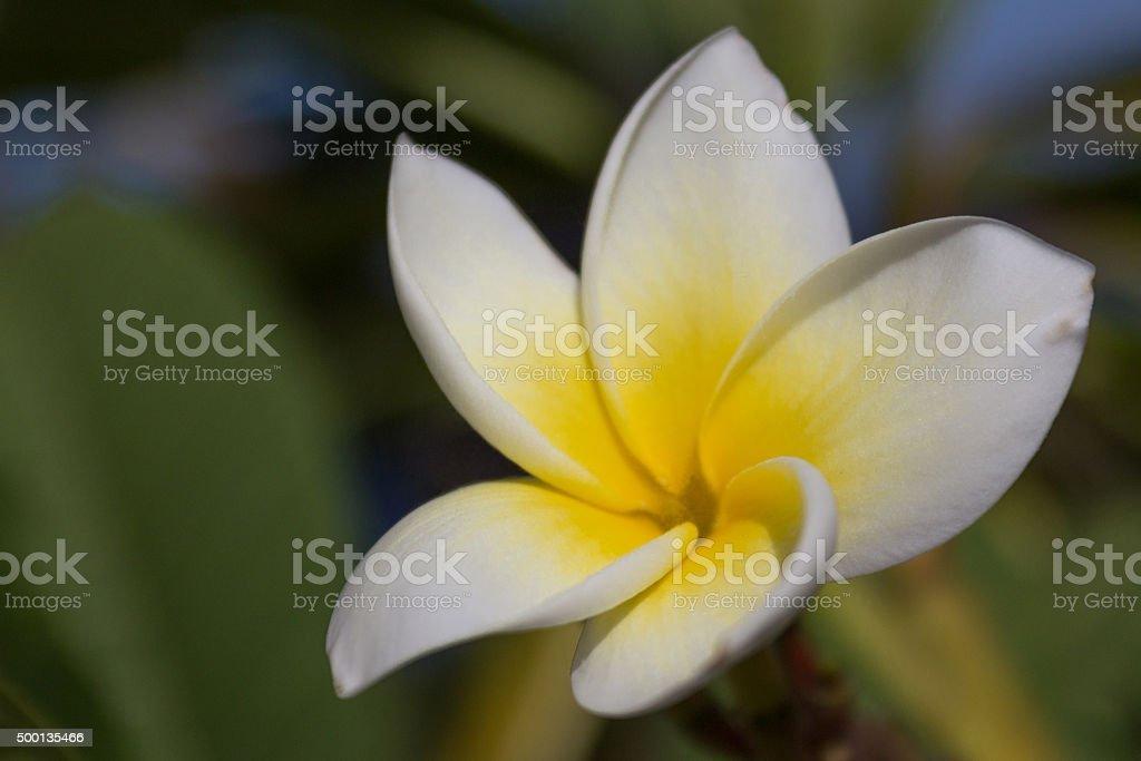 Plumeria flower - white yellow blossom stock photo