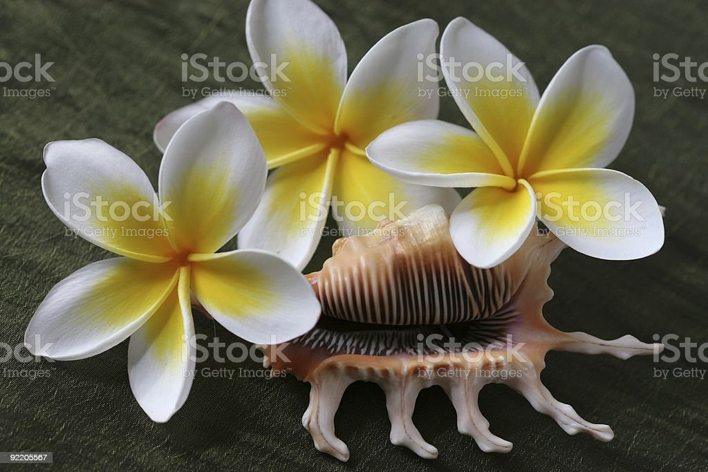 Plumeria Flowers and Shell royalty-free stock photo