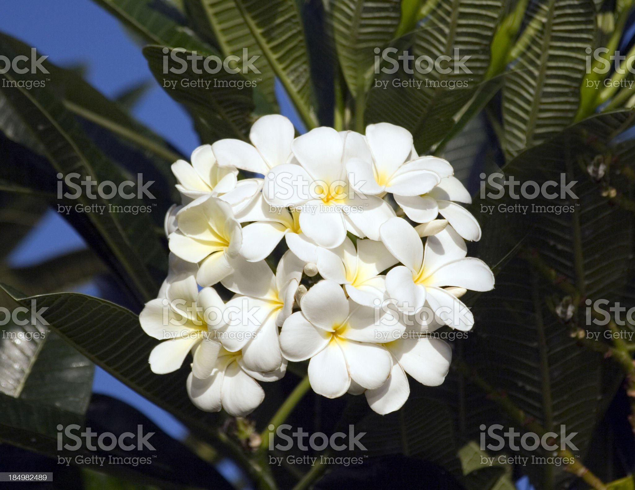 Plumeria Flowers in Maui. royalty-free stock photo