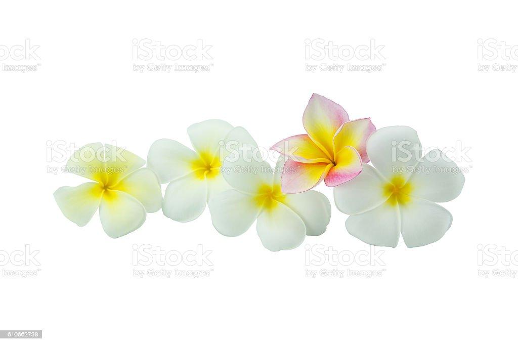 Plumeria flowers isolated on white background stock photo