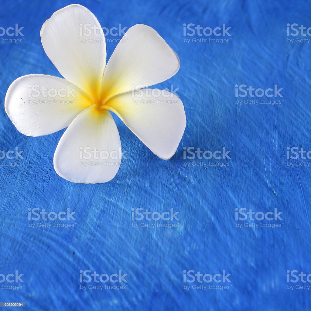 Plumeria flowers on a wooden blue.copy space stock photo