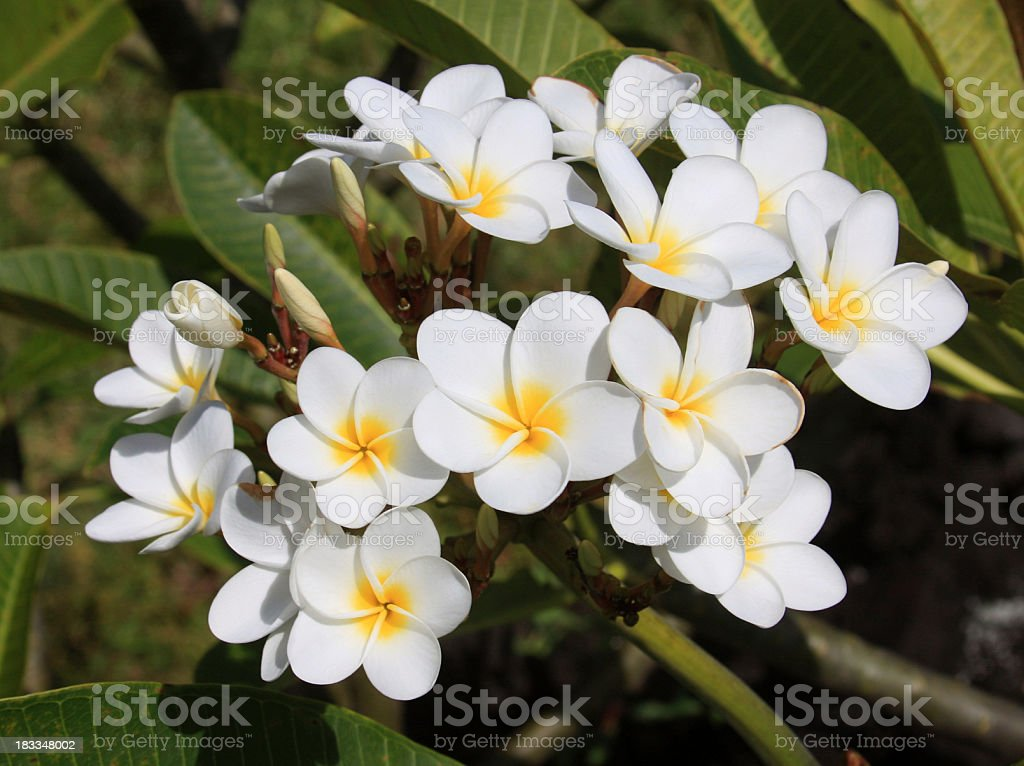 Plumeria flowers on Maui Hawaii royalty-free stock photo