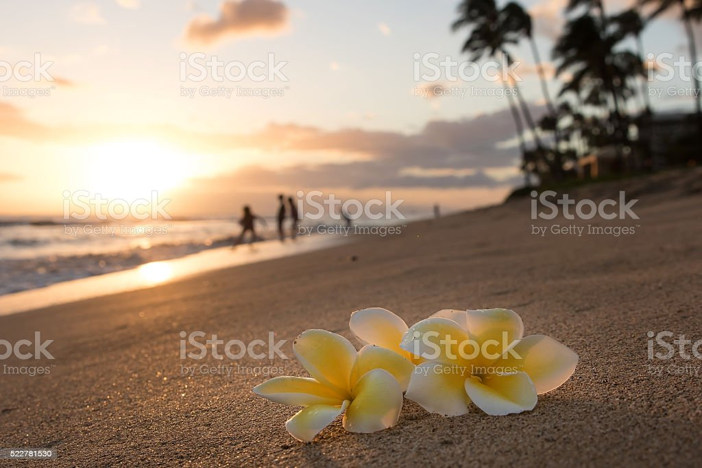 Plumeria flowers on the shore stock photo