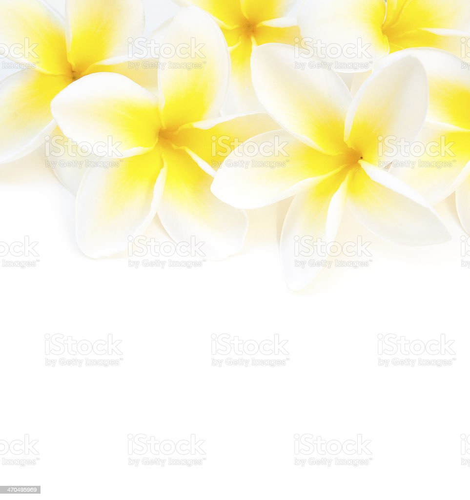 plumeria flowers top border on white background stock