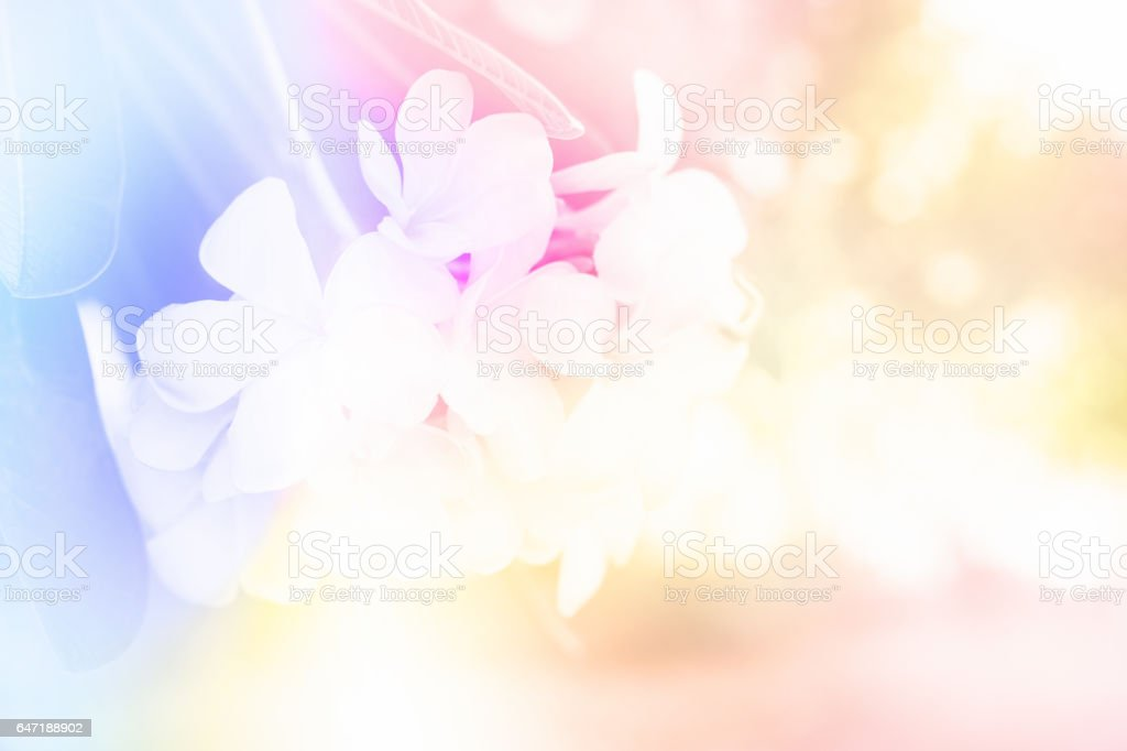 plumeria, frangipani flower vector art illustration