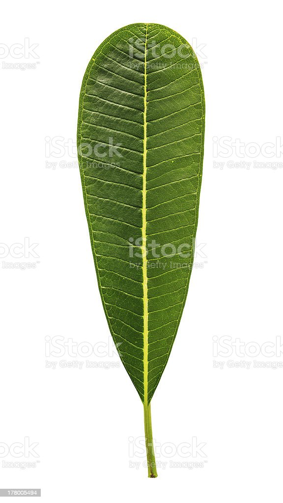 Plumeria leaf royalty-free stock photo