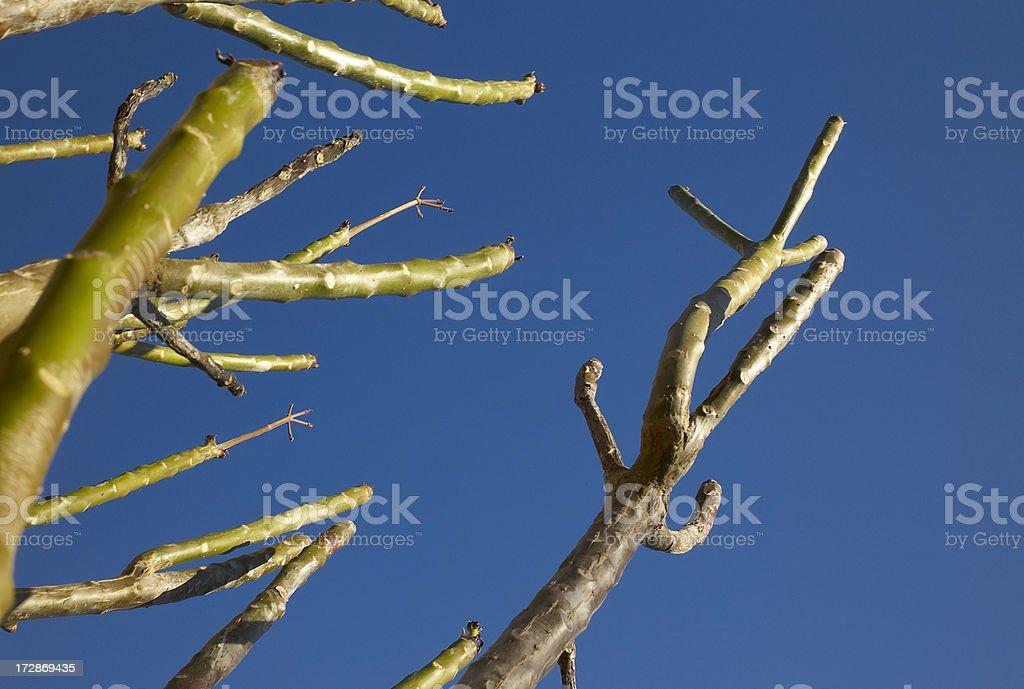 Plumeria limbs in spring royalty-free stock photo