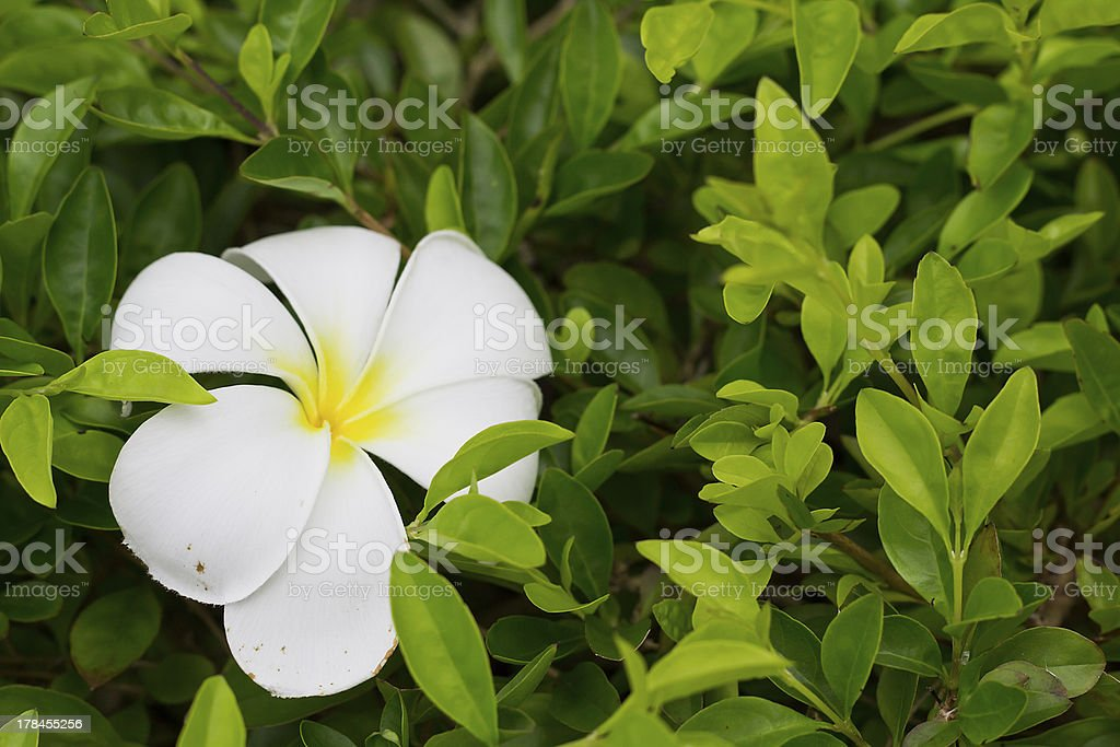 Plumeria on hedge royalty-free stock photo