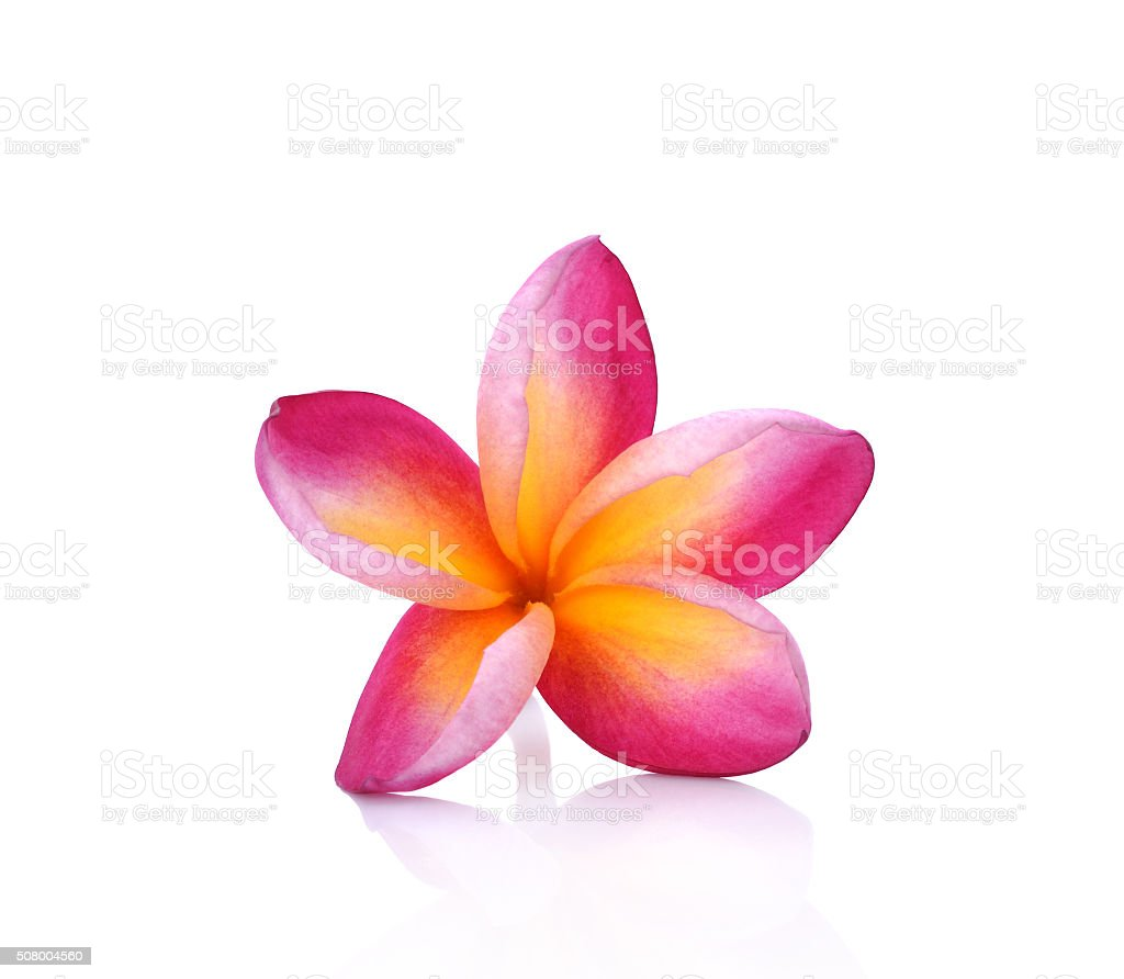 Plumeria on white background stock photo
