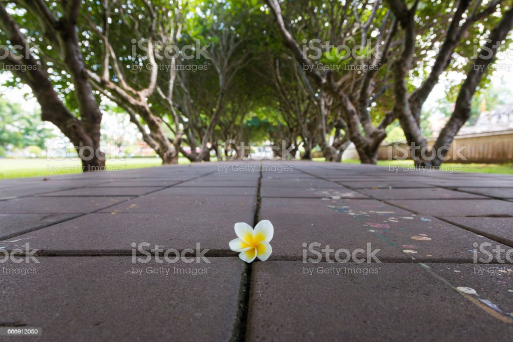 Plumeria or Templetree Flowers on floor and Frangipani trees tunnel stock photo