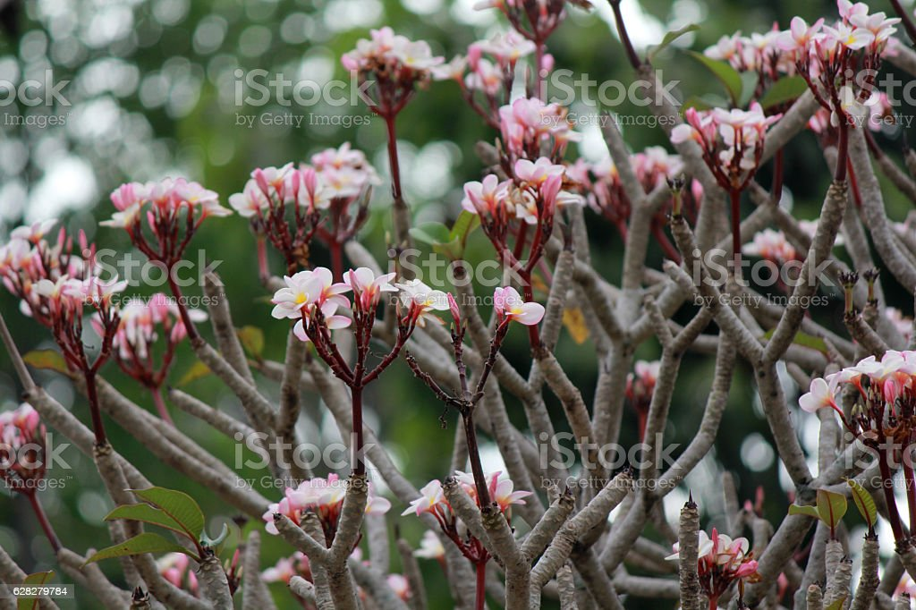 Plumeria stock photo