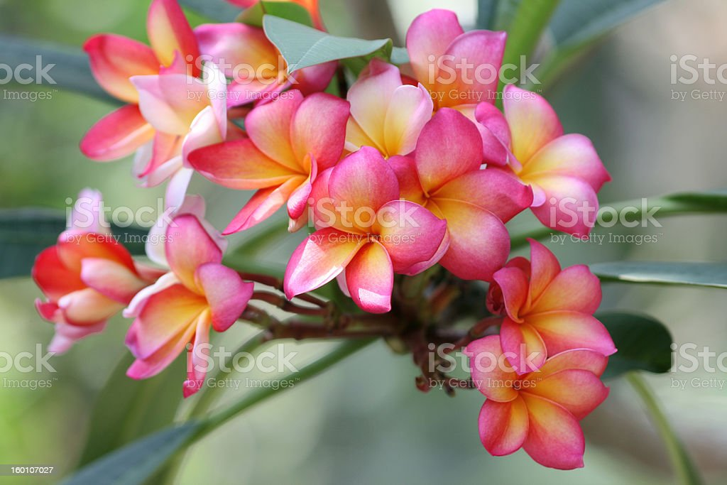 Plumeria rubra royalty-free stock photo