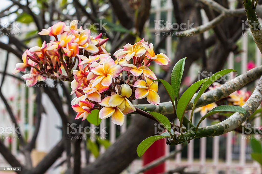 plumeria tree royalty-free stock photo