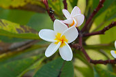 Plumeria Vintage Tone on the  tree, frangipani tropical flowers