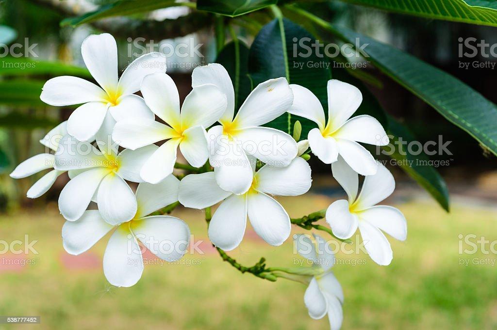 Plumeria white flower stock photo