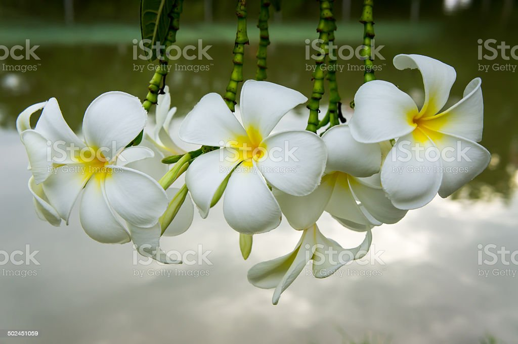 Plumerias bloom stock photo