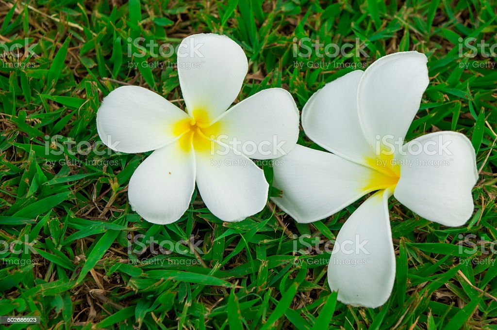 Plumerias on a grass stock photo