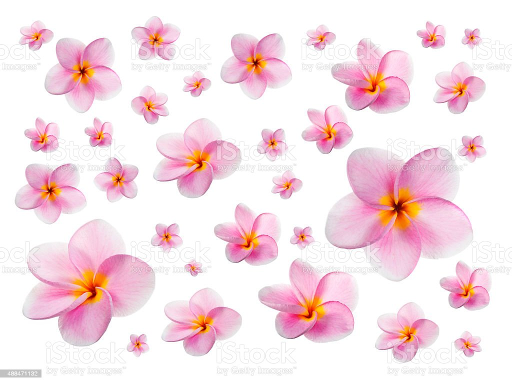 Plumerias on white background stock photo