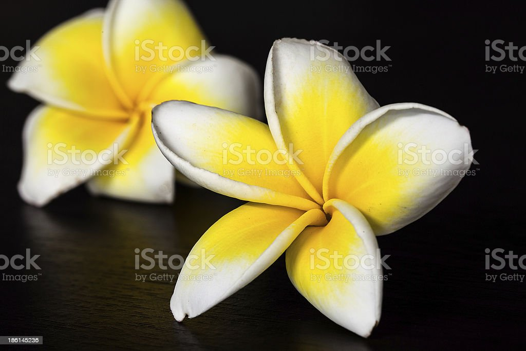 plumerias stock photo