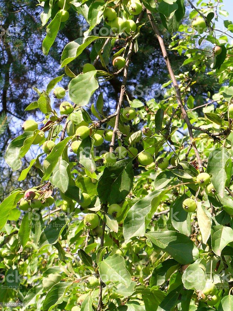 Plum-leaf crabapple stock photo