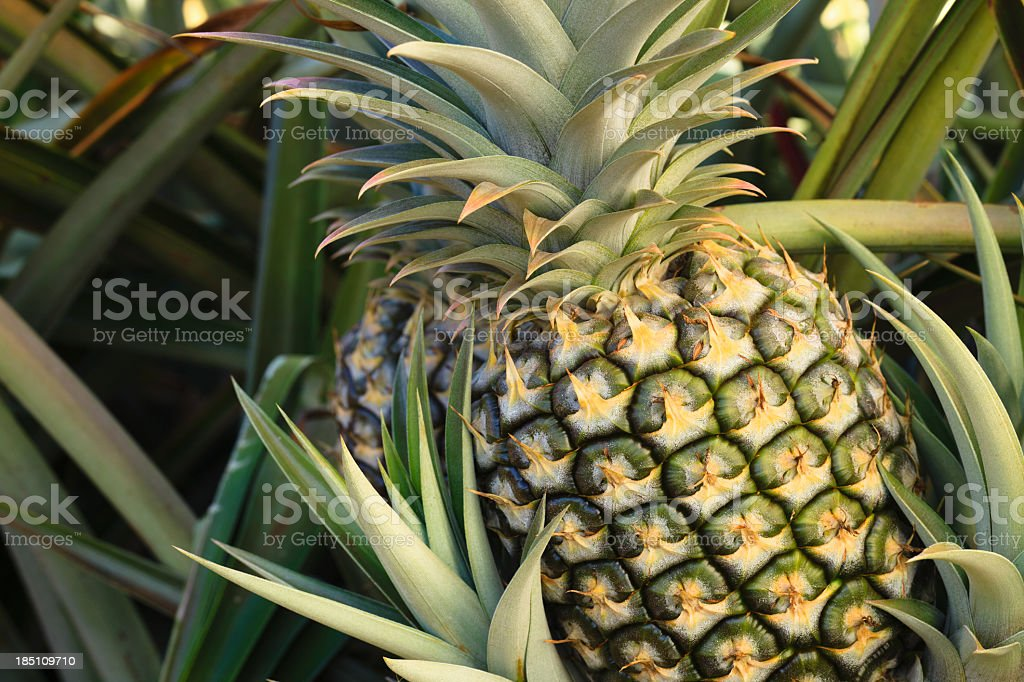 Plump pineapple surrounded by other pineapple leaves stock photo
