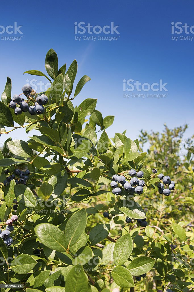 Plump, Ripe Blueberry Clusters on Bush, Ready for Summer Picking royalty-free stock photo