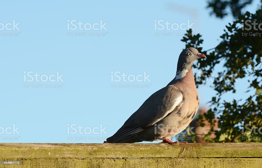 Plump wood pigeon on a wooden fence stock photo