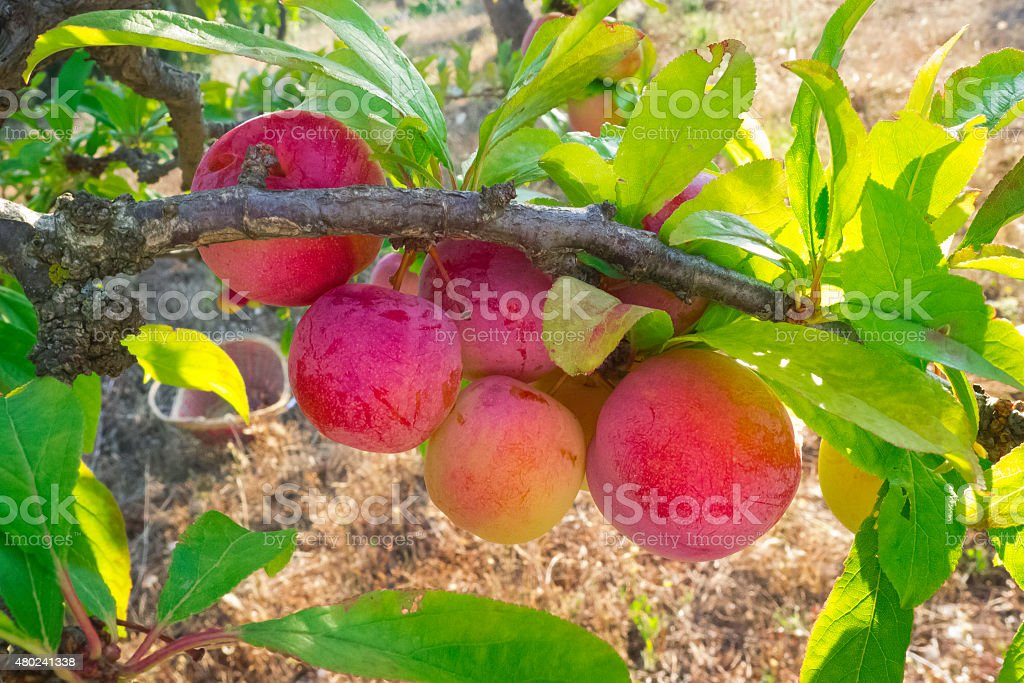 Plums in growth by close outdoors. stock photo