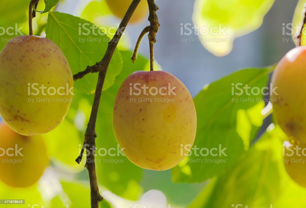 Plums on the tree. royalty-free stock photo