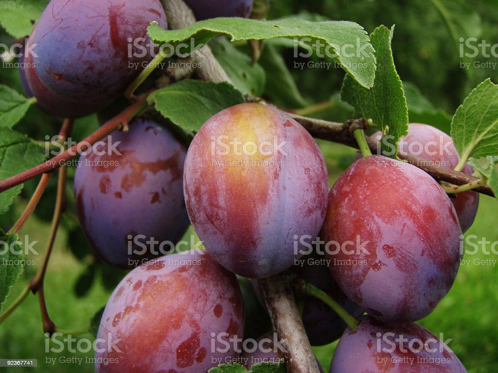 plums on tree royalty-free stock photo
