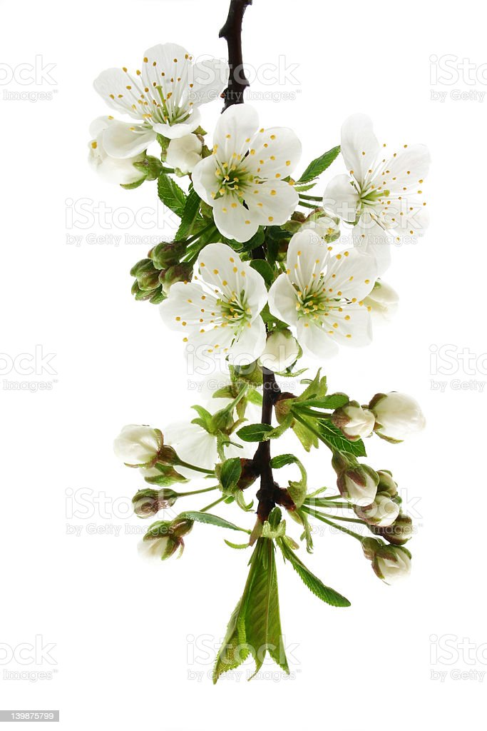 Plum's tree macro. royalty-free stock photo