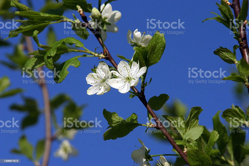 Plum-tree blossom royalty-free stock photo