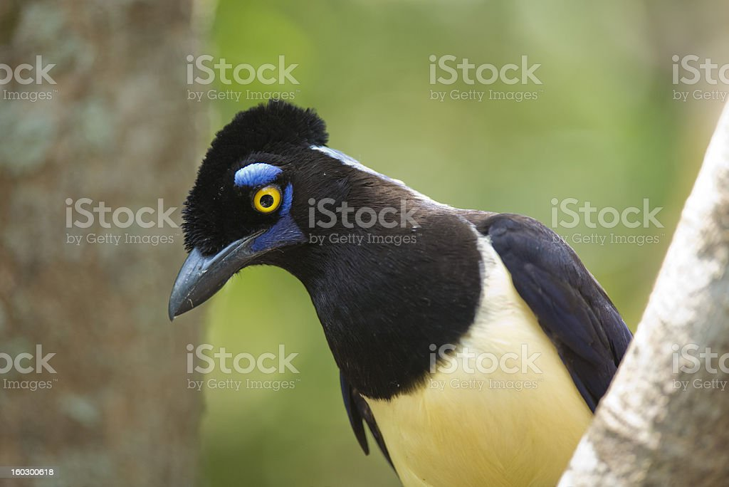 Plush-crested Jay royalty-free stock photo