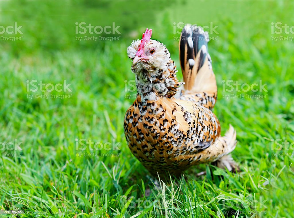 Plymouth Rock Chicken stock photo